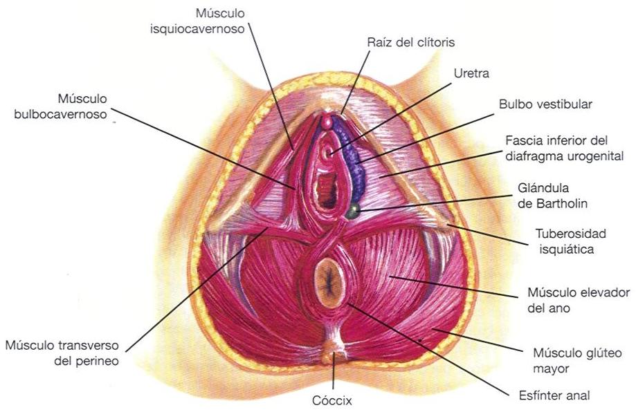 musculos del suelo pelvico